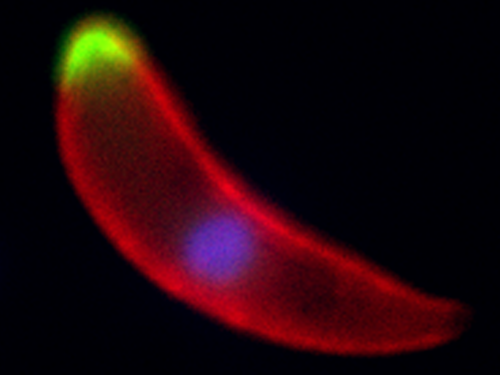 A Plasmodium ookinete, the developmental stage that invades the mosquito midgut, with two different phosphatases shown in green, the surface of the parasite marked in red and the nucleus stained in blue