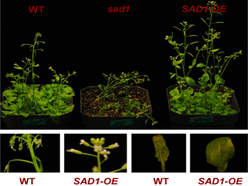 How Arabidopsis plants look like when Sad1 – the gene encoding the protein LSm5 –  is knocked down (sad1), compared to plants where Sad1 is overexpressed (SAD1-OE) and the wild type (WT).
