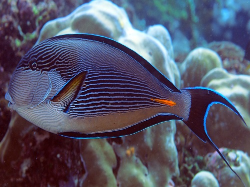 Gut bacteria in reef fish are found to depend on their diet: pictured is the Sohal surgeonfish, Acanthurus sohal.