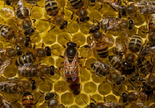 Worker bees start out as nurses tending the hive before moving to outside roles as foragers.