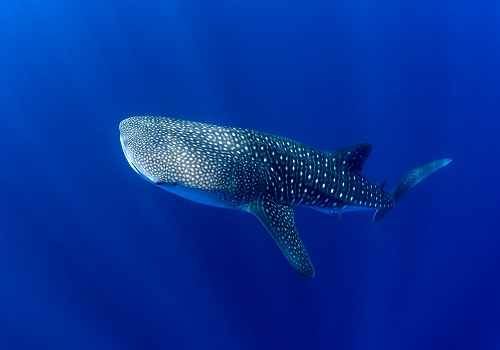 Each whale shark has a unique set of stripes and spots, making it feasible to identify individuals at a site.