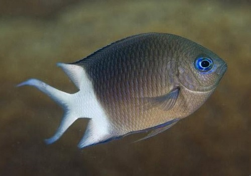 KAUST researchers have shown that one type of damselfish can produce offspring capable of tolerating the predicted higher CO2 conditions of future oceans.
