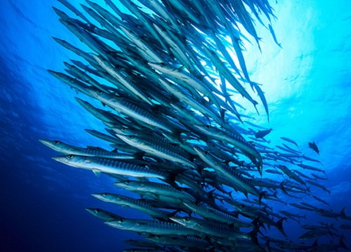 A large school of blackfin barracuda (Sphyraena genie); a top predator on Sudanese coral reefs in the Red Sea.