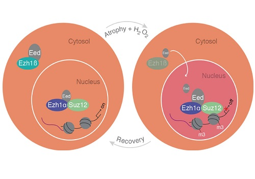 A schematic model of cytosolic Ezh1ß function in postmitotic differentiated muscle cells.