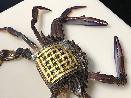 A soft, flexible electronic patch recorded this crab's movements for 60 days.