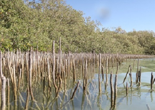 Mangroves can provide a physical buffer that helps to protect coasts from sea level rise and increased storm surges