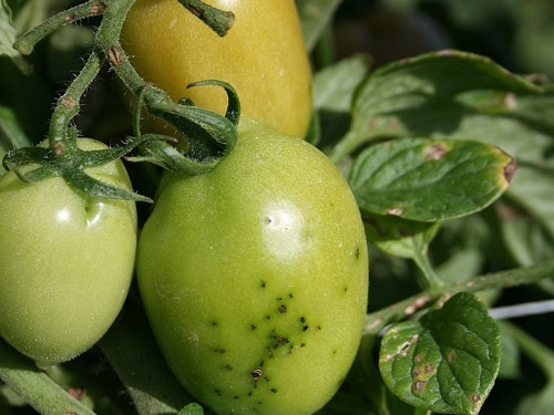 Damage caused on tomato plants upon infection with Pseudomonas syringe bacteria.