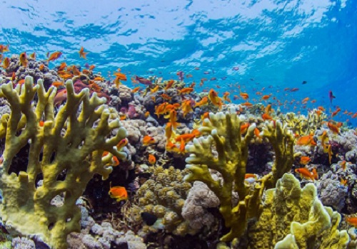 Red Sea reefs are known for their remarkable coral cover and orange fish, Anthias species, swarming at the reef crests.