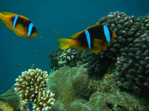 Clownfish in the Red Sea on a reef near Jeddah.