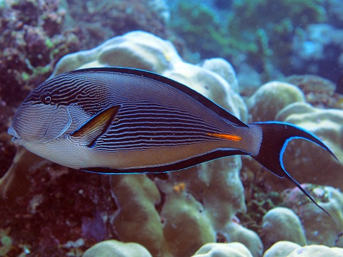 Acanthurus sohal are reported to feed on either turfing or filamentous red and green algae.