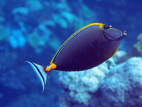 Surgeonfish Naso elegans are reported to feed on macroscopic brown algae.