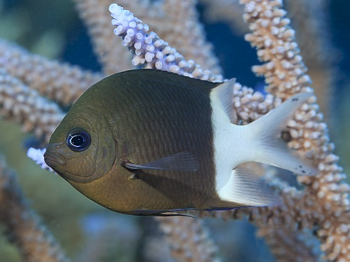 The spiny damselfish (Acanthochromis polyacanthus) is providing insights into how fish deal with ocean acidification.