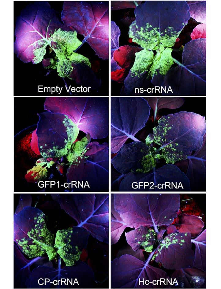 Tobacco plants producing Cas13a are protected against turnip mosaic virus (TuMV, green florescence). Upper left shows infected leaves with no crRNA and upper right shows infected leaves with a control crRNA that does not bind TuMV. The remaining four images show varying reductions of fluorescence provided by four different TuMV-specific crRNAs.
