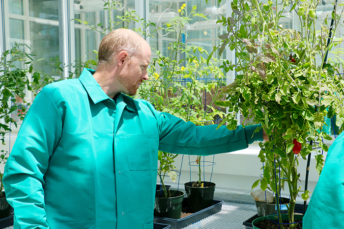 Ryan Lefers investigates the health of a tomato plant in the KAUST greenhouse.