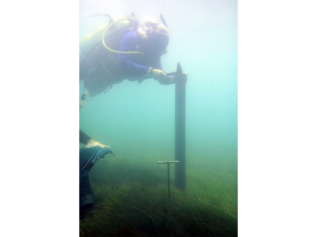 A researcher collects a core sample from a seagrass meadow in the Arabian Gulf.