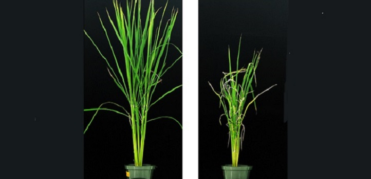 Mutant rice plants without zaxinone-producing enzyme (on right) experience poor growth when compared with wild-type plants (left).
