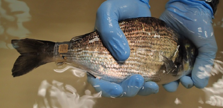 The new version of Marine Skin shown attached to a sea bream.