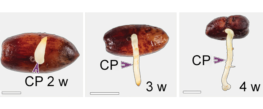 Macrographs showing the process of germination in date palm at two (left), three and four (right) weeks. The purple arrows point to the cotyledonary petiole. The scale bars are one centimeter.