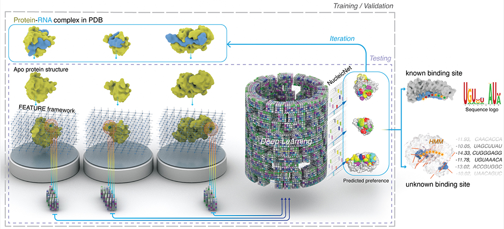 This illustration depicts the training strategy and utilities of NucleicNet. RNA-protein structures in the protein data bank are stripped of their bound RNA, and surfaces of the proteins are analyzed for their physicochemical properties. The results are compiled as training input for NucleicNet. Once training is complete, the learned model can be used to predict RNA binding sites for unseen query protein structures.