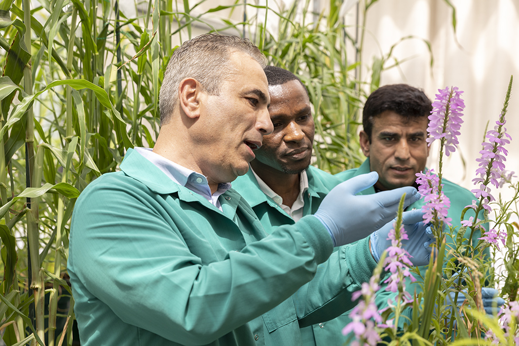 (l-r) Salim Al-Babili and team members Boubacar Kountche and Muhammad Jamil discuss the impact of a Striga infestation on pearl millet plants in the KAUST Core Labs Greenhouse.