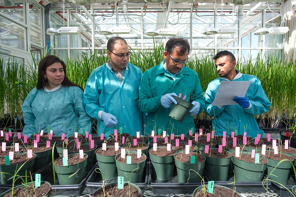 (r-l): Co-authors Radwa Kamel, Khaled Sedeek, Zahir Ali and Abdulrahman Alhabsi evaluate the success of their genome editing system on plants in the KAUST Core Labs Greenhouse.