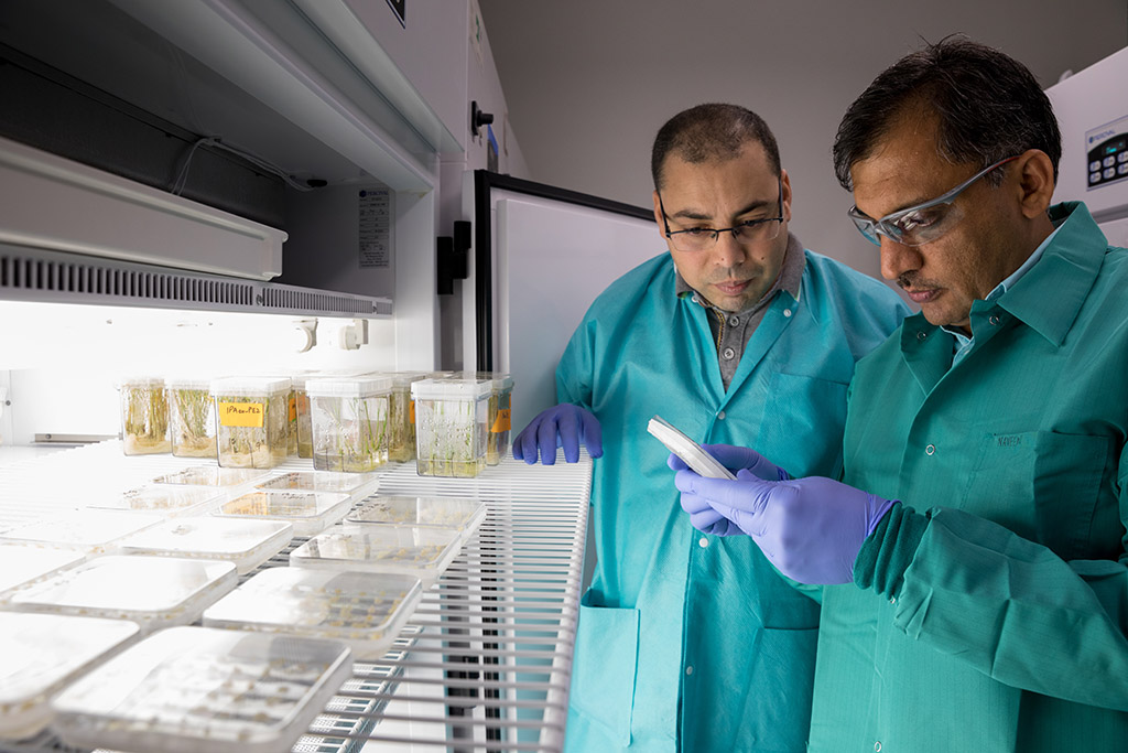 Co-first authors Khaled Sedeek (left) and Zahir Ali evaluate the success of their genome editing system on seedlings in the KAUST Core Labs Plant Growth Chamber Facility.