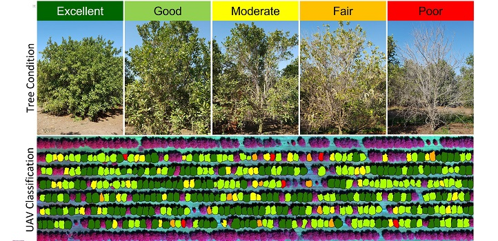 By combining data from UAV and satellite surveys, Johansen and co-workers were able to classify the health of individual trees on a five-point scale across large areas of macadamia plantations. Farmers can then use a map, like the one shown, to find and treat trees at risk.