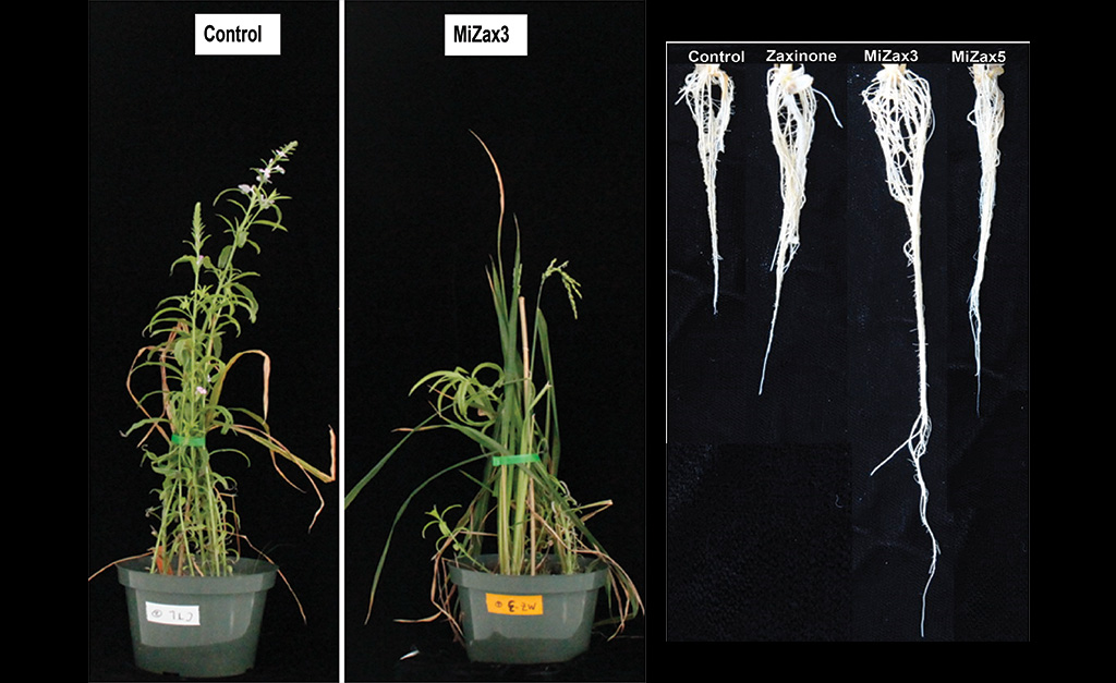 By applying MiZax to the soil containing Striga seeds, the researchers found that the Striga emergence was significantly decreased (left) and that the growth of rice plant roots were remarkably boosted in the hydroponic system (right).