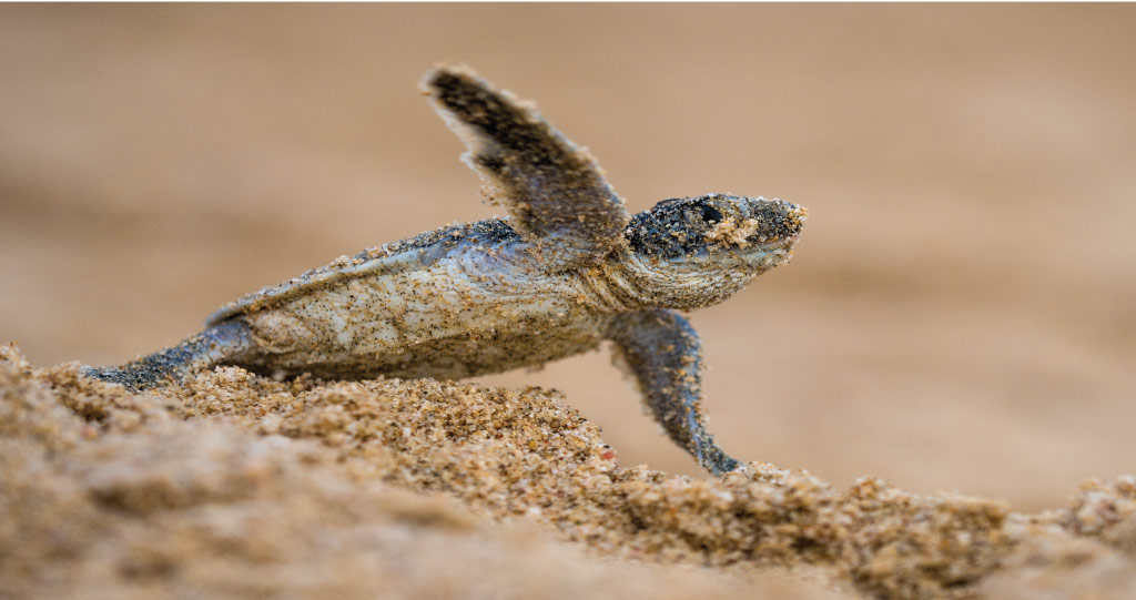 Making a dash for it: a turtle hatchling emerges from the sand along the Red Sea coast.