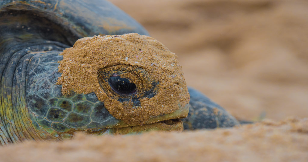 Understanding the environmental threats to Red Sea turtles, such as plastic and heavy metal pollution, is critical to the success of conservation strategies.