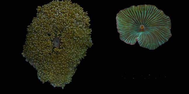 Mushroom-like corals get their genomes mapped