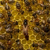 Honey bee behavior is in the genes