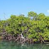 The bioprospects of mangrove roots