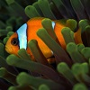 Clownfish adapt for population survival